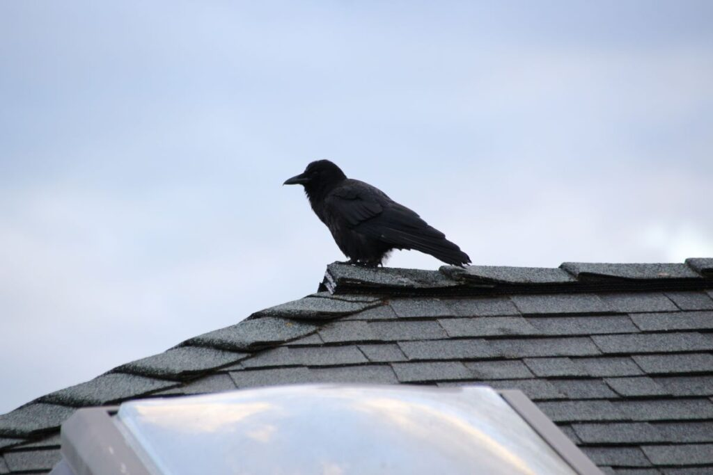 A young crow perched on a house