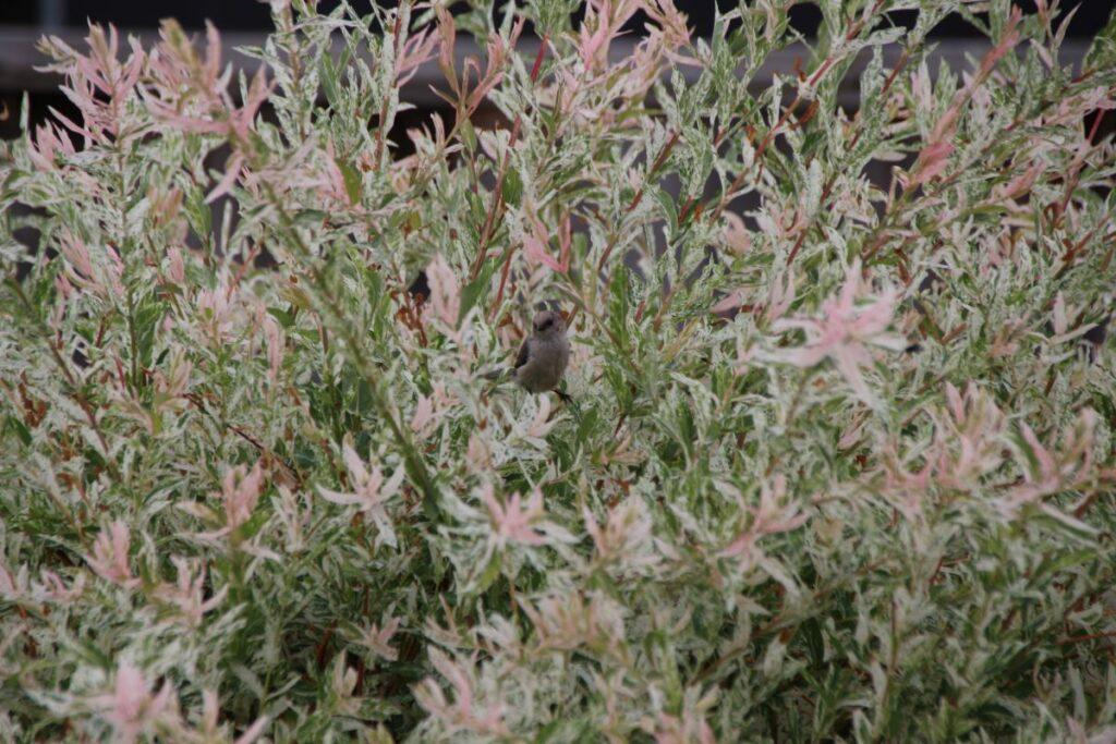 bushtit hidden in Japanese willow