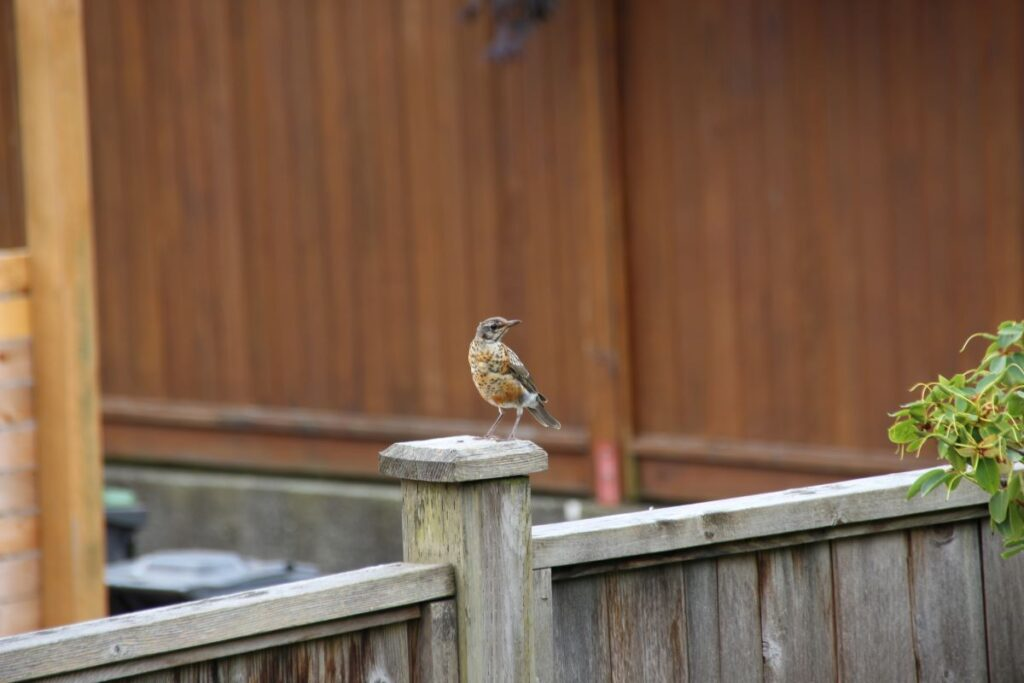 Juvenile North American robin on the fence