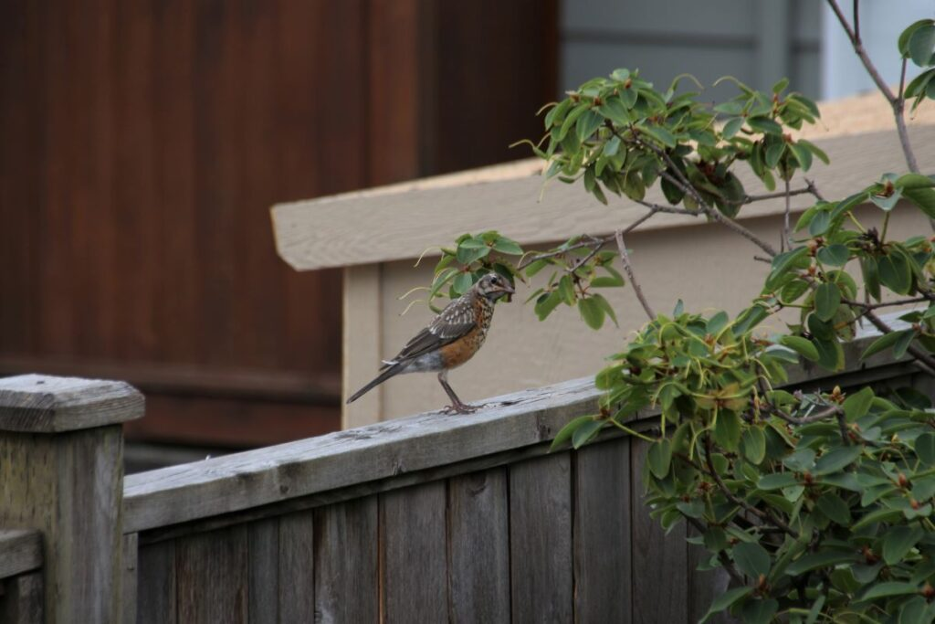Juvenile North American robin on the fence by a rhododendron bush