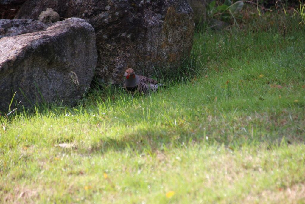 Male Northern Flicker on the lawn by a big rock