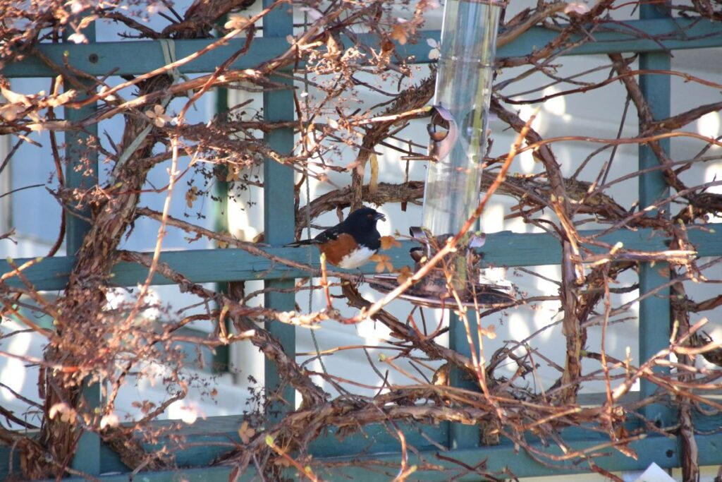 Towhee at the feeder