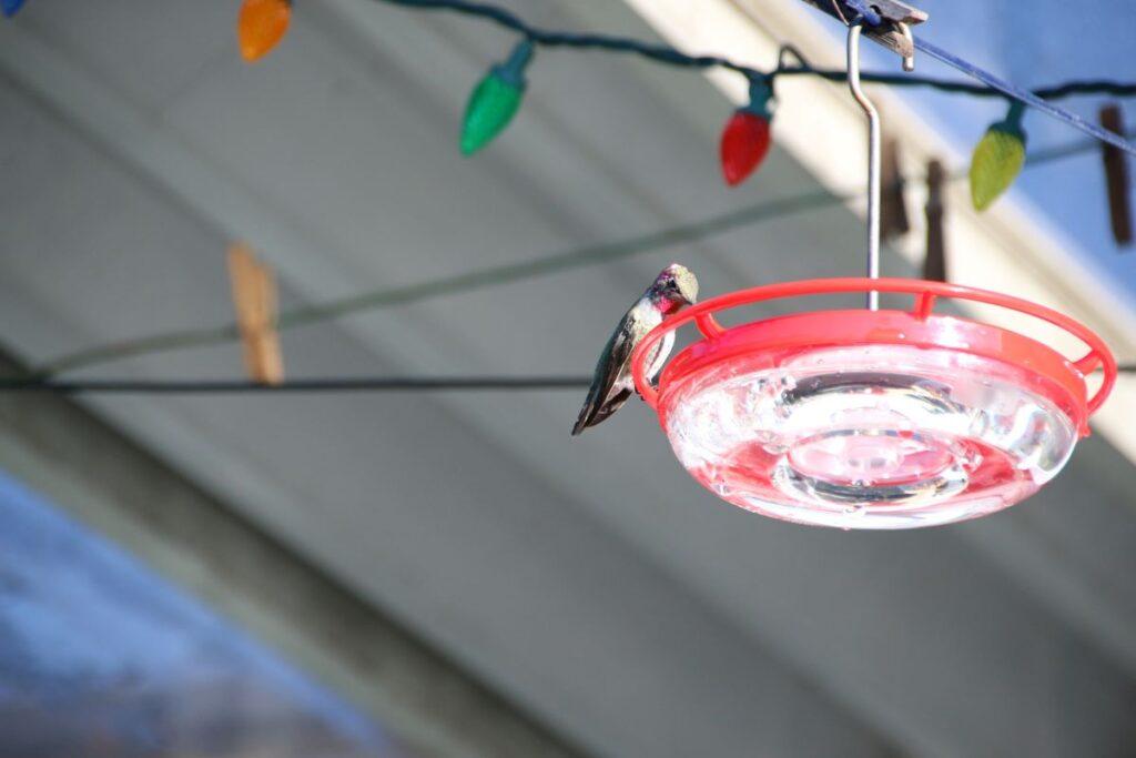 Juvenile Male Anna's Hummingbird at feeder