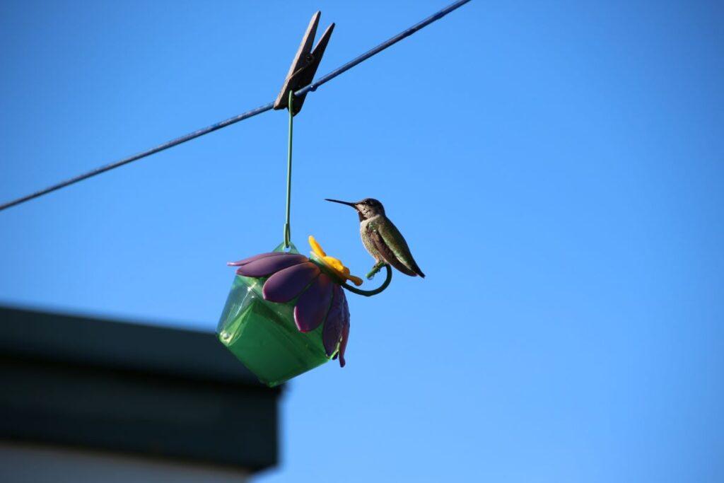 Anna's Hummingbird on a flora shape feeder