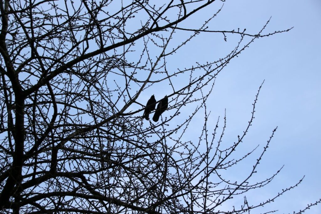 a crow couple dating on the cherry tree