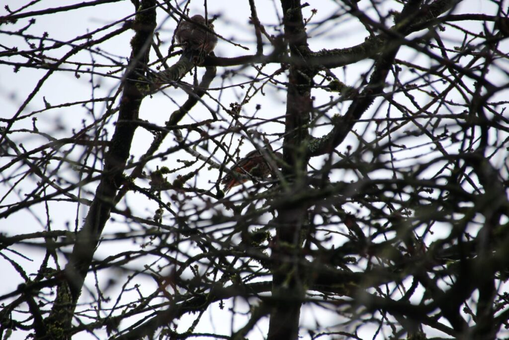 a couple of Red shaft Northern Flickers perching on the tree