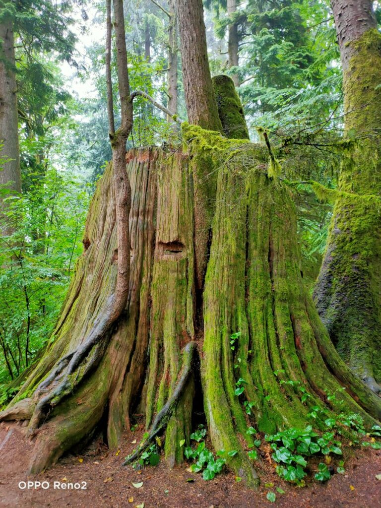 giant tree trunks