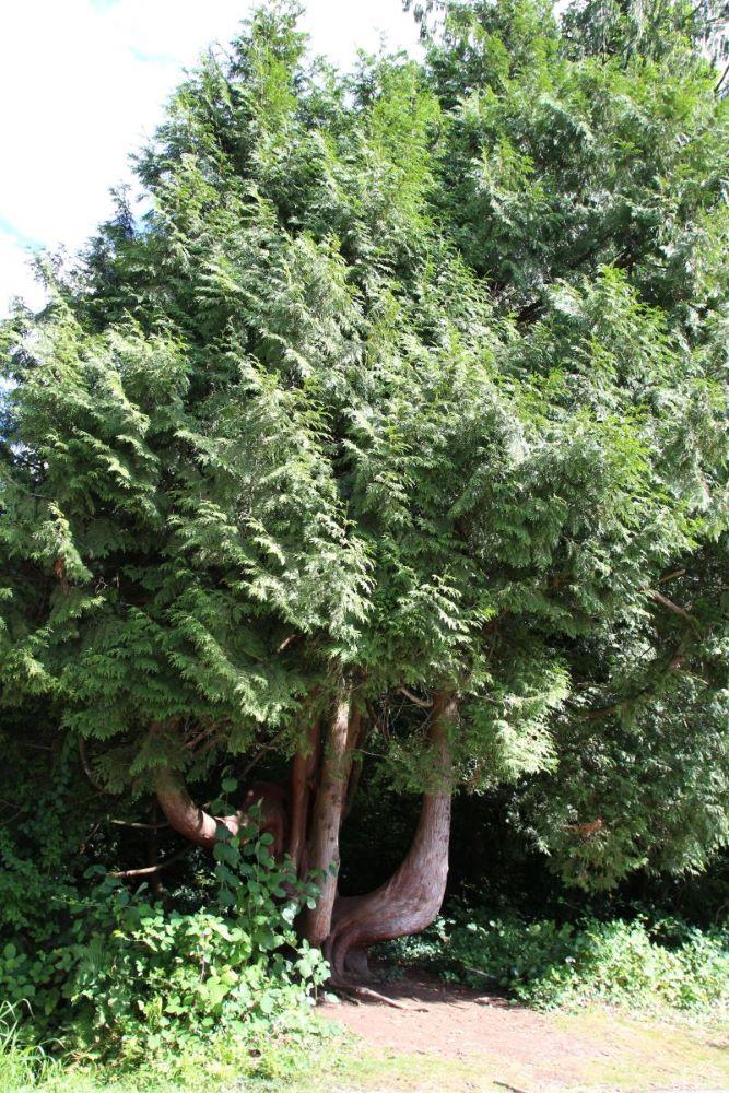 strange twisted shaped sequoia tree
