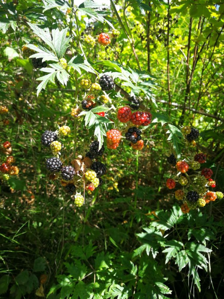 Cut-leaf Blackberries with different colours