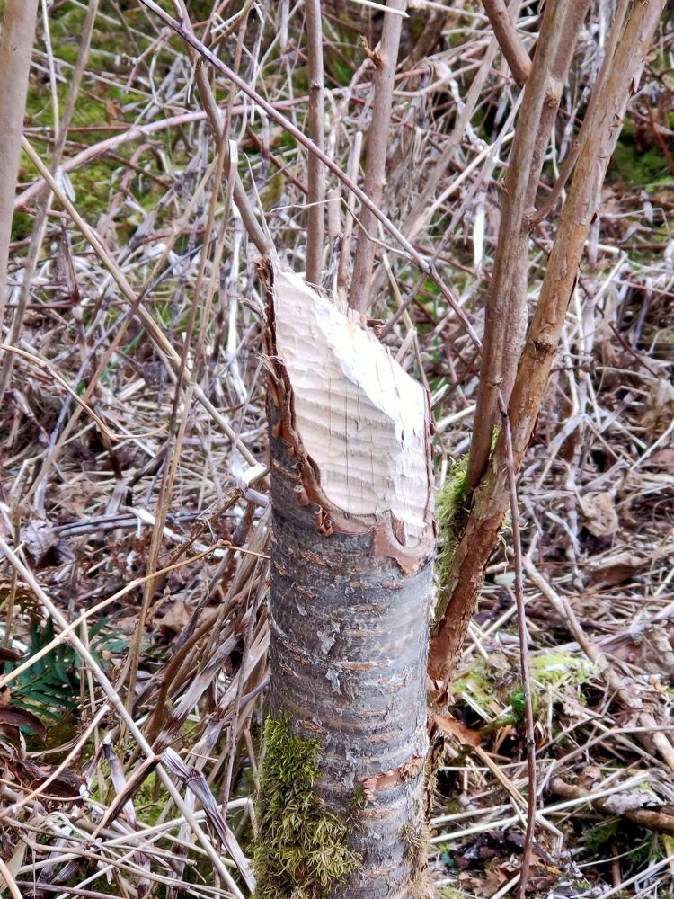 A tree trunk chewed through by a beaver