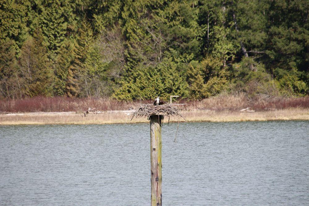 nesting ospreys on a pile