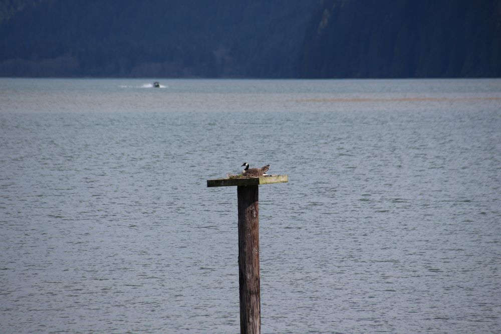 A Canada goose roosting on a pole at Pitt Lake