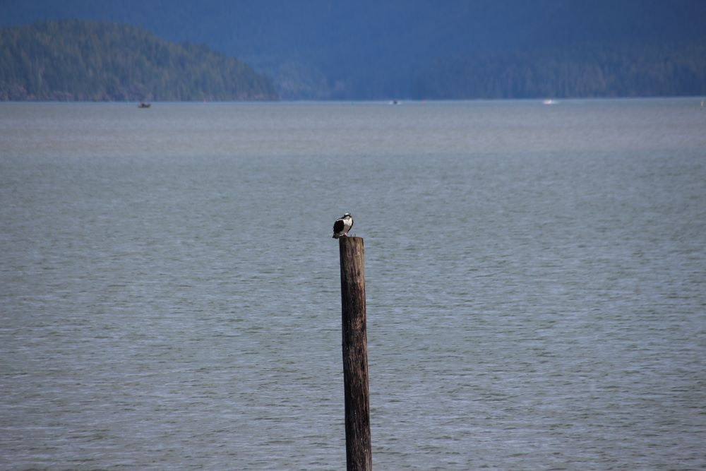 An osprey perching on a wooden pile