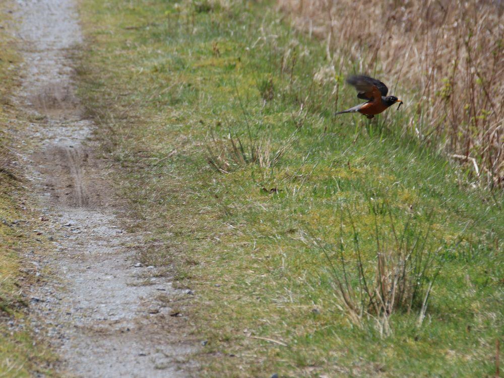 A North America Robin caught a worm