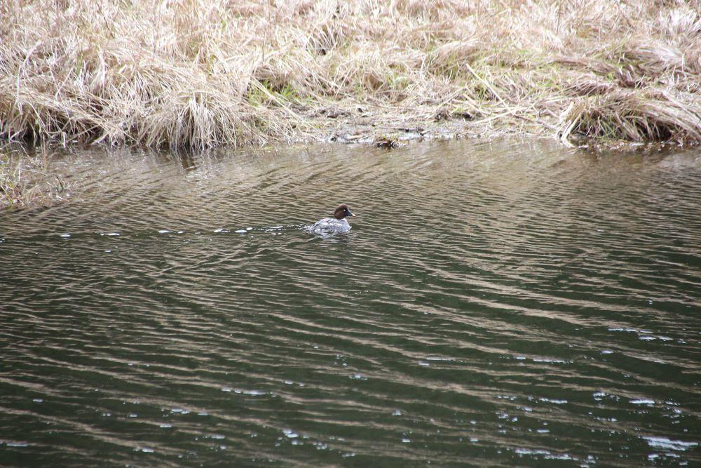 Hooded Merganser swimming in the creek