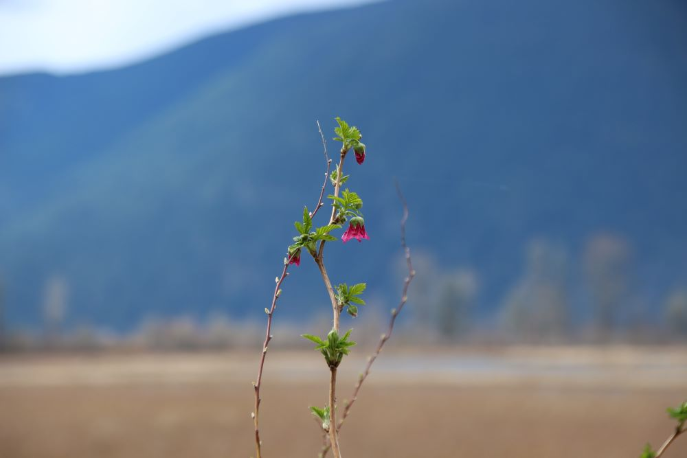 Salmonberries with the backdrop of mountains