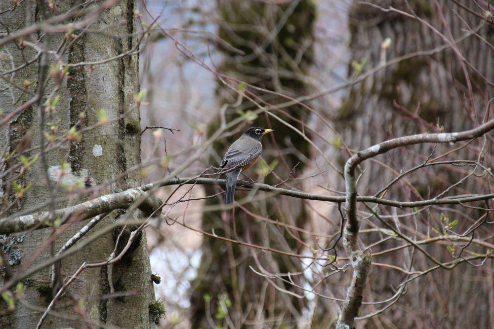 A robin hidden on the tree observing people walking by