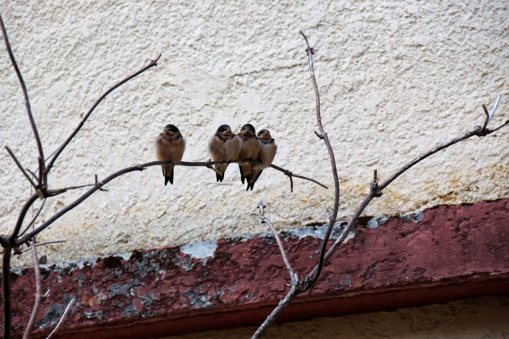 swallows on a tree beside Martin's Inn